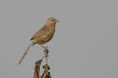 Striated Babbler (Turdoides earlei / Argya earlei) (sp. # 247) (SharifUddin59) Tags: striatedbabbler babbler bird turdoidesearlei turdoides earlei perched argyaearlei argya nature wildlife animal dhaka bangladesh