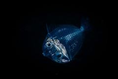 Blackwater translucent juvenile fish (Luko GR) Tags: indonesia bali tulamben nightdive blackwater macro juvenile fish blackbackground bonfire