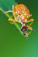 Attelabid (andredekesel) Tags: attelabidae leafrollerweevil westafrica benin beetle coleoptera niaouli focusstack stagedinsects lupoluxdayled1000 sonya7r3 metaboneseftosonye insect insectphotography weevil macro