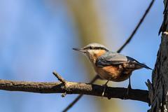 Kleiber_1 (thomas_bauer94) Tags: bird vogel kleiber spechtmeise nuthatch sigma150600 wildlife canon photography nature animals