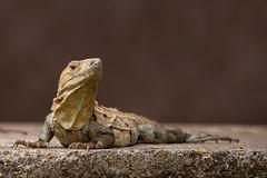 Iguana (ToriAndrewsPhotography) Tags: iguana costa rica tarcoles reptile lizard photography andrews tori