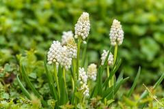 Traubenhyazinthen Weiß (KaAuenwasser) Tags: traubenhyazinthen weis pflanze blüten beet garten blumen botanischergarten