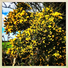 March Gorse (Julie (thanks for 8 million views)) Tags: 100xthe2019edition 100x2019 image46100 gorse flower hipstamaticapp iphonese texture yellow htt squareformat ireland irish wexford rural hedge flowers