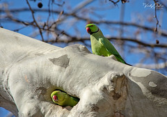 🇪🇸 Rose-ringed parakeets (vickyouten) Tags: roseringedparakeet parakeet parrot nature naturephotography wildlife wildlifeinspain wildlifephotography nikon nikond7200 nikonphotography nikkor55300mm barcelona spain vickyouten