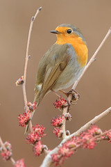 Robin and elm inflorescences (Cristiano Tedesco) Tags: elm robin flower background spring bird nature