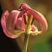 Old Tulip