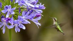 Western Emerald hummingbird (F) approaching Agapanthus flower -EXPLORED 01/04/2019- (PriscillaBurcher) Tags: trochilidae chlorostilbonmelanorhynchus esmeraldacoliazul esmeraldadecolaazul westernemerald esmeraldaoccidental émeraudedesandesoccidentales émeraudeorvert hummingbirdsfromcolombia colibríesdecolombia laceja colombia priscillaburcher explored inexplore dsc9326