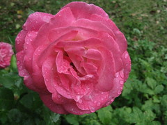 (Сергей88) Tags: цветы роза макро макросъёмка