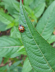 Harlequin ladybird ,Harmonia axyridis (Geckoo76) Tags: insect beetle ladybird ladybug harlequinladybird harmoniaaxyridis