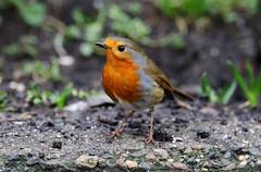 Robin in my back yard. (Chris Kilpatrick) Tags: chris canon canon7dmk2 sigma150mm600mm sigma outdoor wildlife nature animal bird robin douglas isleofman springwatch