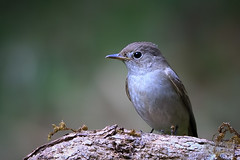 Asian Brown Flycatcher (Muscicapa dauurica) (:: p r a s h a n t h ::) Tags: blue flycatcher brownflycatcher asianbrownflycatcher muscicapadauurica bangalorebirds southindianbirds 2018 ganeshgudi