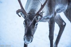 Curious finnish forest reindeer (eba5684) Tags: peura metsäpeura reindeer forestreindeer animal deer moose suomenpeura nikon animalphotography winter snow finland