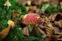 Toadstool (charlottejarvis@live.co.uk) Tags: fungi mushroom forest woods chilterns uk bucks england toadstool