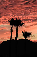 The Palm Tree Trio (http://fineartamerica.com/profiles/robert-bales.ht) Tags: arizona foothills forupload haybales land palmtree people photo places plants projects scenic states sunrisesunset sunsetorsunrise sunrise sunset redsky twilight yellow clouds landscape spectacular desertphotography panoramic surreal sublime sonora inspirational path morning silhouette sunrisephotography red sonoradesert robertbales desertecosystem desert nature sky yuma gilamountains dusk dawn scene sunlight colorful tranquil vibrant outdoor black beauty verical