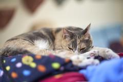 A9__DSC3088_C1 (Bazoka+Cynthia) Tags: pupu 小婆 新北市 樹林區 貓 cat