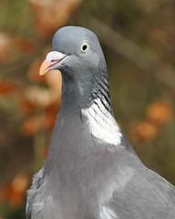 Wood Pigeon (LouisaHocking) Tags: gardenbird bird southwales cyfarthfapark cyfarthfa park wild wildlife british nature merthyr merthyrtydfil woods stone woodpigeon