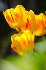 Colorspots 🌼☀️ (Martin Bärtges) Tags: frühjahr frühling spring outside outdoor drausen naturephotography naturfotografie natur nature nikonphotography nikonfotografie d7000 nikon yellow gelb farbenfroh colorful blossoms blumen blüten flowers
