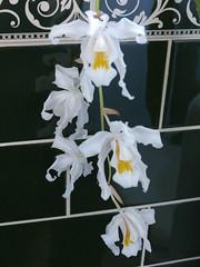P1180529 (jrcollman) Tags: places plants devon 21beechwoodinterior europeincldgcanaries coelogynecristatachatsworth newtonabbot cplant britishisles