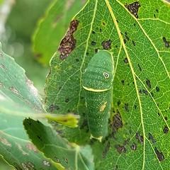 Papilio canadensis (Gary Walton) Tags: butterfly caterpillar greencaterpillar larva insect papiliocanadensis canadianyellowswallowtail aspen leaf