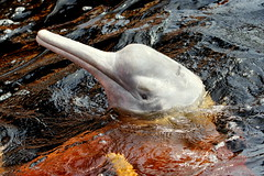 Pink River Dolphin(Boto)-7D2_2223-001 (cherrytree54) Tags: amazon pink river dolphin boto bufeo canon sigma 7d 150600