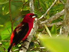 Red 1 (moarastaeblein) Tags: bertioga sp brazil