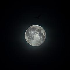 Fly me to the Moon (www.mathiasvejerslev.dk) Tags: moon fullmoon supermoon lunar luna måne månen bird silhouette nightsky astronomy laluna lune gull