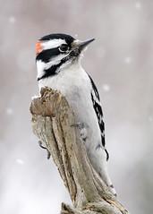 _A991091 (mbisgrove) Tags: downy a99m2 bird a99ii woodpecker snow sony sal70400g2