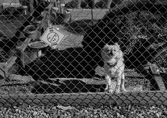 Fear my wrath! (peter.a.klein (Boulanger-Croissant)) Tags: littledoglaughednoiret blackandwhite bw black white blanc noir noiretblanc negro blanco schwarz weiss leica monochrome dog barking teeth sign humor funny fence pee