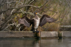 Cormorant (Ed Thorn) Tags: bird cormorant wildlife essex lake water