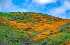 Private Hill of Poppies (mutovkin) Tags: 2019 california flowers g9 hills lumix lumixg9 panasonic panasonicg9 poppies superbloom colorful spring wildflowers