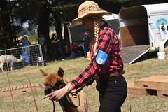 DSC_5107 (VAYG) Tags: vay vytec paraders aaa victorian alpaca association youth australian australia iar 2019 alpacas alpacalypse crystal cove profarma jay hall athena melbourne show redhill red hill