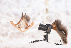 Red squirrel is standing on skis another behind a camera in snow (Geert Weggen) Tags: squirrel camera red animal backgrounds bright cheerful close color concepts conservation culinary cute damage day earth environment environmental equipment love valentine photo winter snow openmouth ski sport wintersport bispgården jämtland sweden geert weggen hardeko ragunda