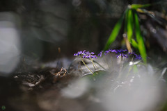 20190321-DS7_1153.jpg (d3_plus) Tags: bokeh aiafzoomnikkor80200mmf28sed d700 thesedays wildflower 日常 walking 城山 ボケ 相模原 望遠 カタクリ 自然 景色 dogtoothviolet sagamihara trekking 神奈川県 sky telephoto 山野草 風景 japan erythroniumjaponicum ニコン トレッキング nature dailyphoto ハイキング nikon nikond700 kanagawa flower nikkor shiroyama 8020028 dogtoothvioletvillage bloom 植物 80200mmf28d 散歩 80200mmf28af plant 花 scenery 80200mmf28 daily 城山かたくりの里 hiking 80200 日本 tele 80200mm かたくりの里 空