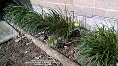 Trinity Free Church gardens - Mini-Daffs at back of building flowering  28th March 2019 002 (D@viD_2.011) Tags: trinity free church gardens minidaffs back building flowering 28th march 2019