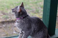 20190401 Newark Mia and Milo-29.jpg (ashleyrm) Tags: kittens pets milo canonrebelt4i animals canon canonrebel cats mia