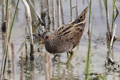 Voltolino -   Porzana porzana (francescociccotti1) Tags: palude uccelli canneto trampolieri limicoli