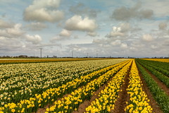 Field of Daffodils (Bruce Poole) Tags: brucepoole eastanglia eastofengland partsofholland daffodils fenland fens lincolnshire rowsofflowers narcissus amaryllidaceae lincolnshirefens swineshead perspective clouds nuages nwm nubes mwn agriculture landscape landschaft yellow view mirador panorama vista panoramic paisaje paysage paesaggio τοπίο lines