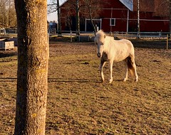 Hallå… (Patrick Strandberg) Tags: sweden östergötland bergagård freyda freydafrånblixtorp icelandichorse islandshäst horse häst iphone iphonex