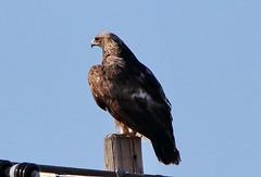 January 5, 2019 - A golden eagle looks away. (Bill Hutchinson)