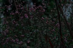 (nebulaperpetuum) Tags: photo photooftheday flowers violet lop branch nikon nikonphotography nikontop photogrid photoshoot photographer photos photograph photochallenge photoftheday