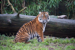 Tiger5 (Borreltje.com) Tags: burgerszoo dierentuin dieren tijger tiger cat bigcat wild dangerous attack