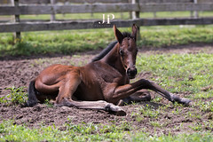 Sweetpea (Funtasian) Tags: horses equestrian equine snow cold field paddock barn filly foal babyanimals colt sky grass