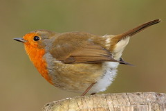 Another of the Robin at Denny Wood, New Forest (Art-G) Tags: bird robin dennywood newforest lyndhurst hampshire uk bokeh canon eos7dmkii sigma150600c sundaylights