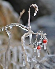 IMG_0545a / berry cold (rudyschnick) Tags: berries ice
