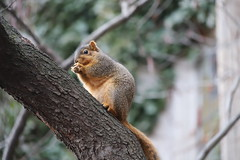 Fox Squirrels in Ann Arbor at the University of Michigan - January 16th, 2019 (cseeman) Tags: gobluesquirrels squirrels foxsquirrels easternfoxsquirrels michiganfoxsquirrels universityofmichiganfoxsquirrels annarbor michigan animal campus universityofmichigan umsquirrels01162019 winter eating peanuts acorns januaryumsquirrel