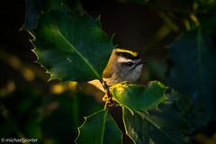 Golden-crowned Kinglet (Michael J Porter) Tags: bird britishcolumbia camosunbog canada nature outdoor pacificspiritpark vancouver wildlife