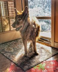 Toby in our winter sun spot... #rescuedog #harzerfuchs #cruciateligament #dogphotography #dogsofinstagram #dog #olympus #olympusphotography #em10markii #20mm #sunspot #sunshine (vrot01) Tags: sunshine sunspot em10markii dogphotography harzerfuchs olympus cruciateligament rescuedog dogsofinstagram olympusphotography 20mm dog