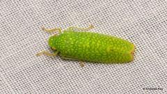 Pretty Leafhopper, Cicadellidae (Ecuador Megadiverso) Tags: andreaskay cicadellidae cicadellinae ecuador hemiptera leafhopper sharpshooter truebug wildsumaco