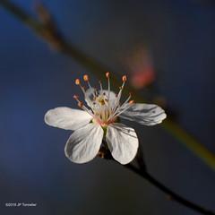 Le printemps arrive (jpto_55) Tags: fleur fleurdemerisier proxi fuji fujifikm xt20 kiron105mmf28macro hautegaronne france