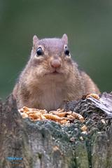 SunShootyell-59468 (dialaspc) Tags: yellow animal mammal chipmonk nc